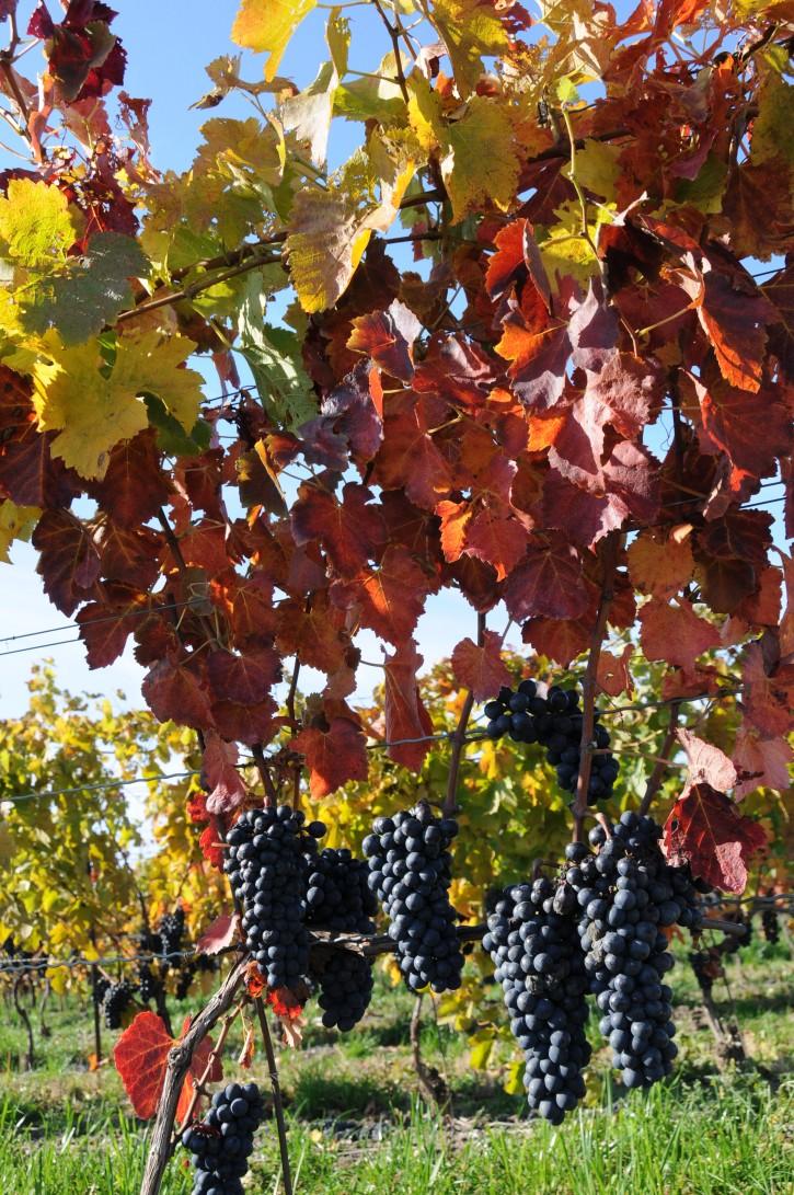 Grapes Vineyards in Niagara-on-the-lake Vineyards